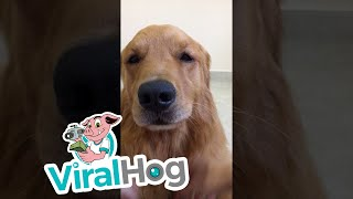 Golden Retriever Loves Pets  || ViralHog