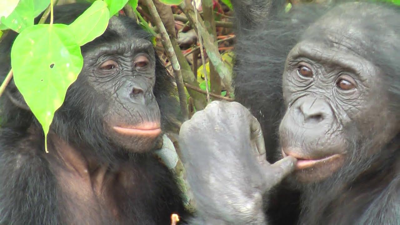 Смотреть половые органы у обезьян онлайн 21 фотография