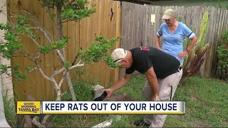Rats running amok in St. Petersburg: Three ways to keep the rodents out of your house