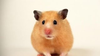 Pros and Cons of owning Hamsters