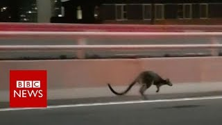 Wallaby gives police slip on Sydney Bridge - BBC News