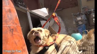 Abandoned dog survives for months from scraps left by neighbors until Hope For Paws was called in.