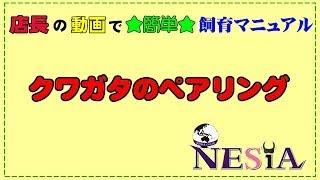 店長の動画で★簡単★飼育マニュアル【クワガタのペアリング】