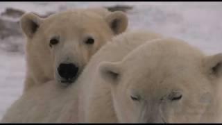 Polar Bears and Melting Sea Ice Don