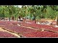 How To Harvest Apple? - Apple Harvesting...
